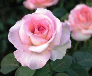 Like the blooming of this Coiner Pink Promise Rose, you can count on the David & Margaret's Notes of Love Charity Dinner to be one of La Verne's great seasonal events.